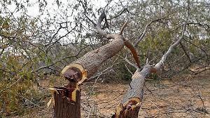 मध्यप्रदेश में विकास की सनक में 'सामूहिक वृक्षसंहार'
